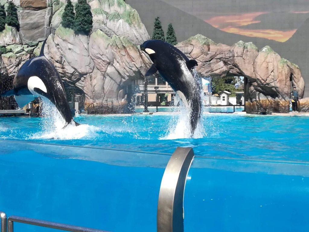 Spettacolo delle orche al Seaworld di San Diego