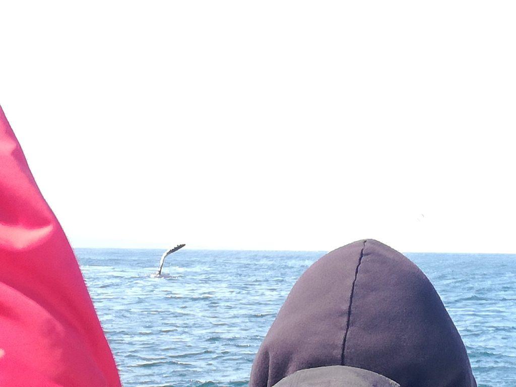megattera avvistamento balene Monterey