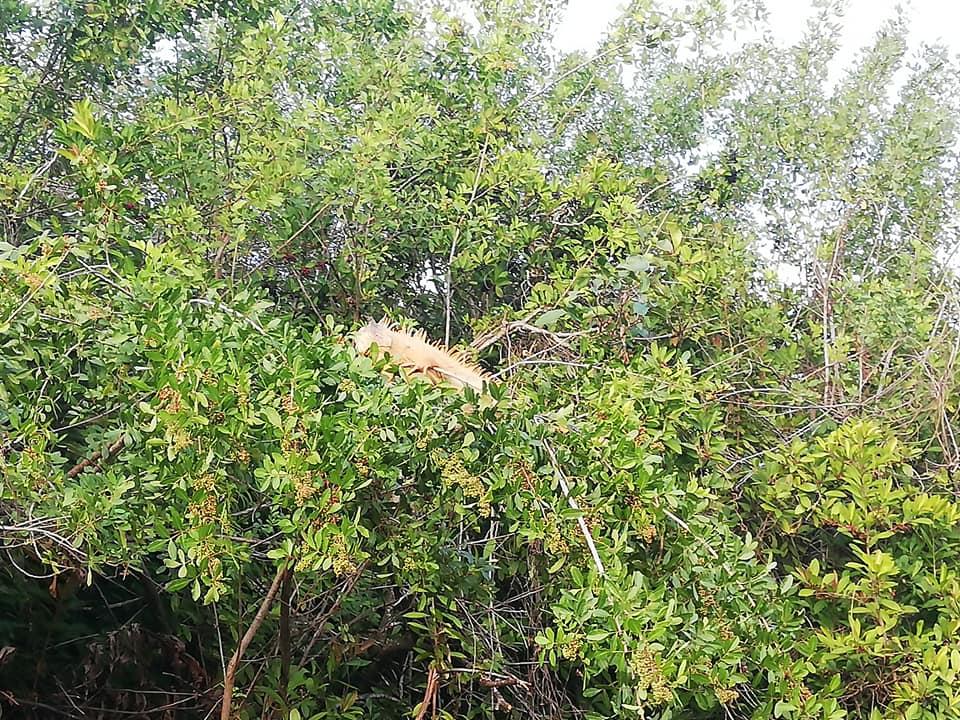 Iguana rossa - Tour in airboat a Everglades Alligator Farm
