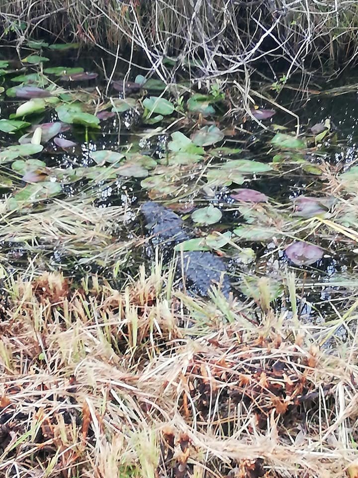 Avvistamento alligatori - Shark Valley Everglades National Park