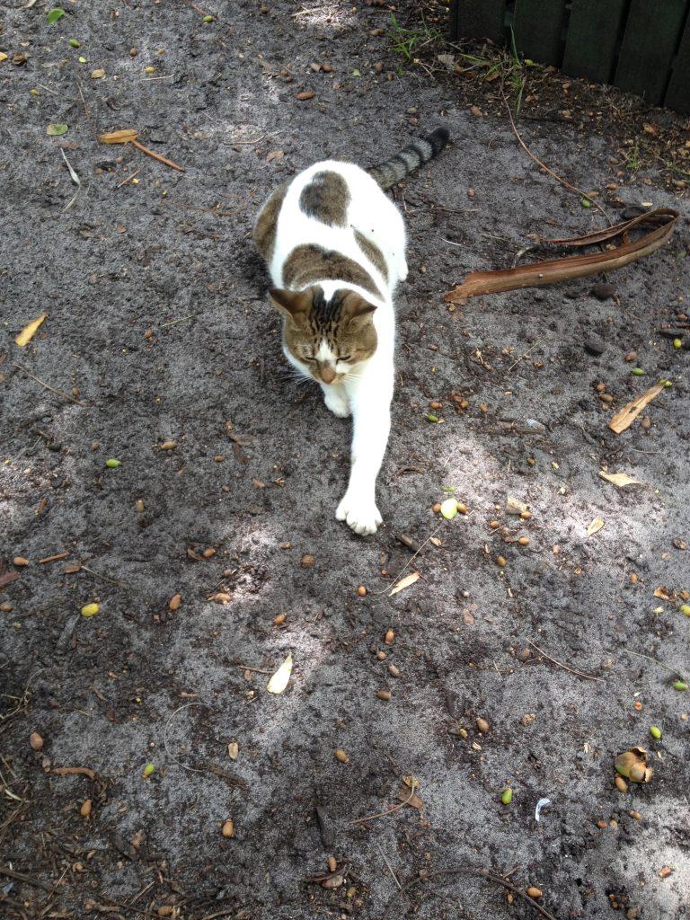 Gatto polidattile nella casa di Hemingway a Key west