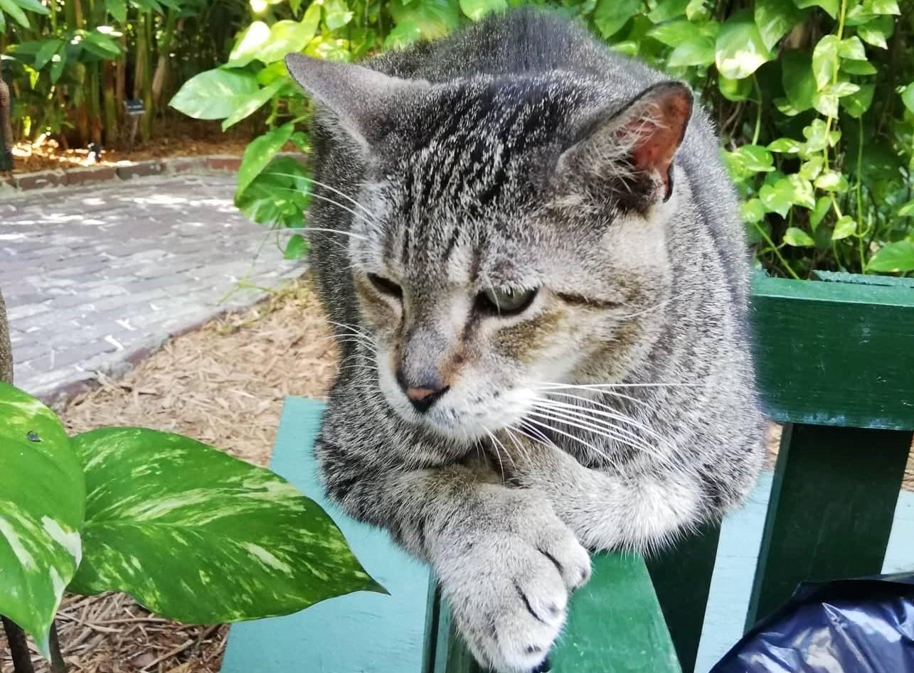 uno dei tanti gatti polidattili nella casa di Hemingway a Key West