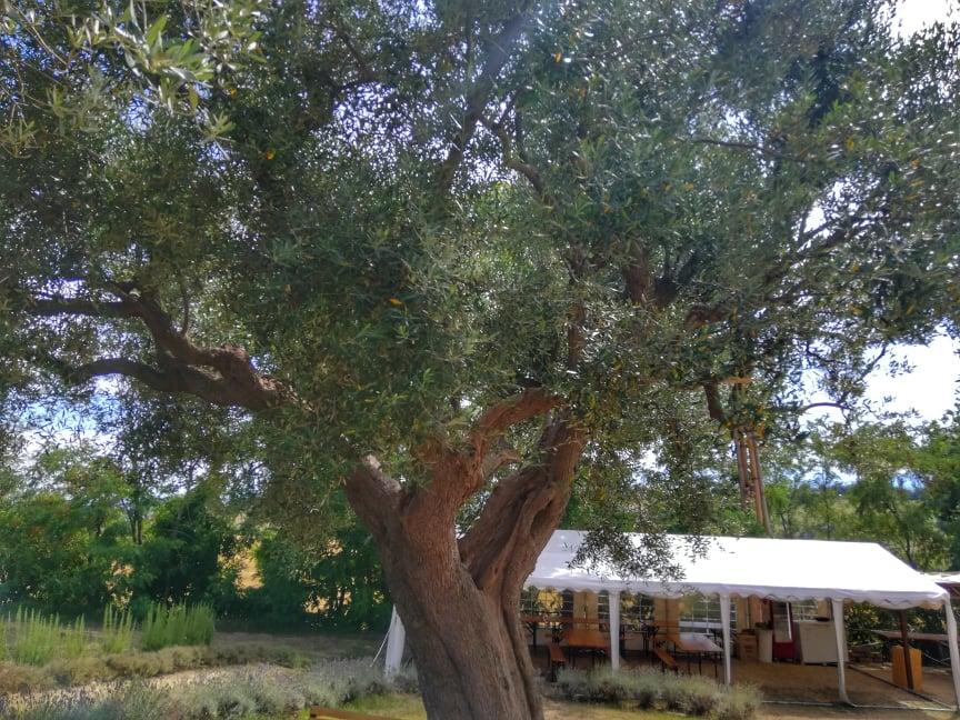 campi di lavanda nelle Marche L'ulivo di nonno Amato - Morrovalle