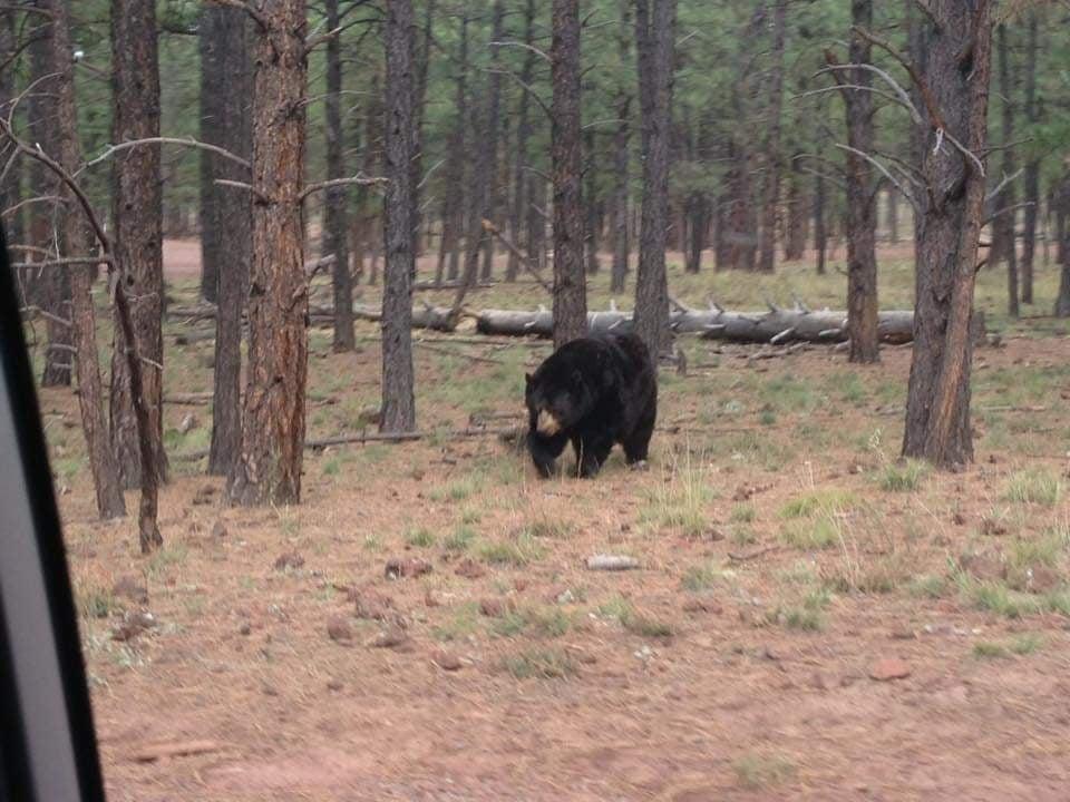 Black bear solitario- Al Bearizona Safari di Williams Arizona