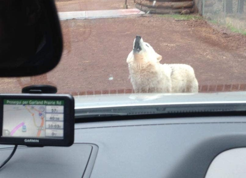 Lupo che ulula di fronte all'auto - al Bearizona safari Williams Arizona