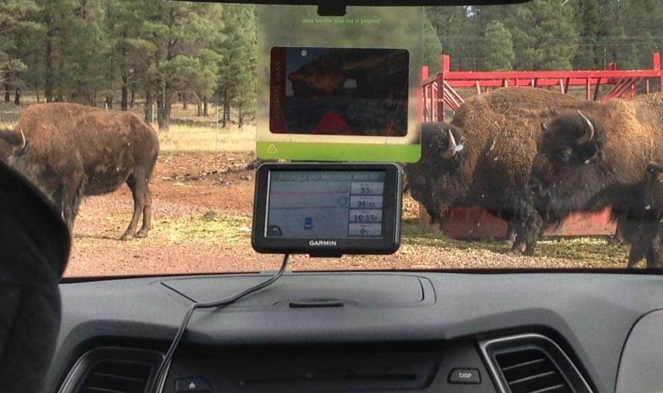 Bisonti ostruiscono il passaggio al Bearizona - safari Williams Arizona