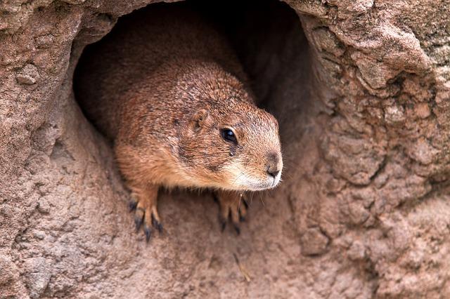 Foto di una marmotta nella sua tana, Groundhog Day e le previsioni meteo