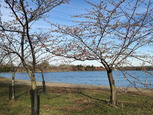 Ciliegi in fiore a marzo a Washington Dc  cosa vedere a Washington in 3 giorni