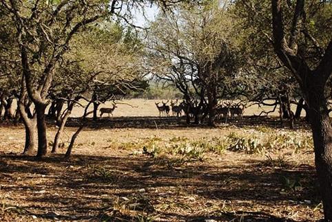cosa vedere a Fredericksburg Texas cerbiatti nei dintorni della cittadina