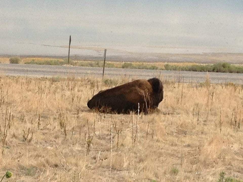 Bisonte americano a riposo , incontro ravvicinato - visitare Antelope Island State Park a nord di Salt Lake City