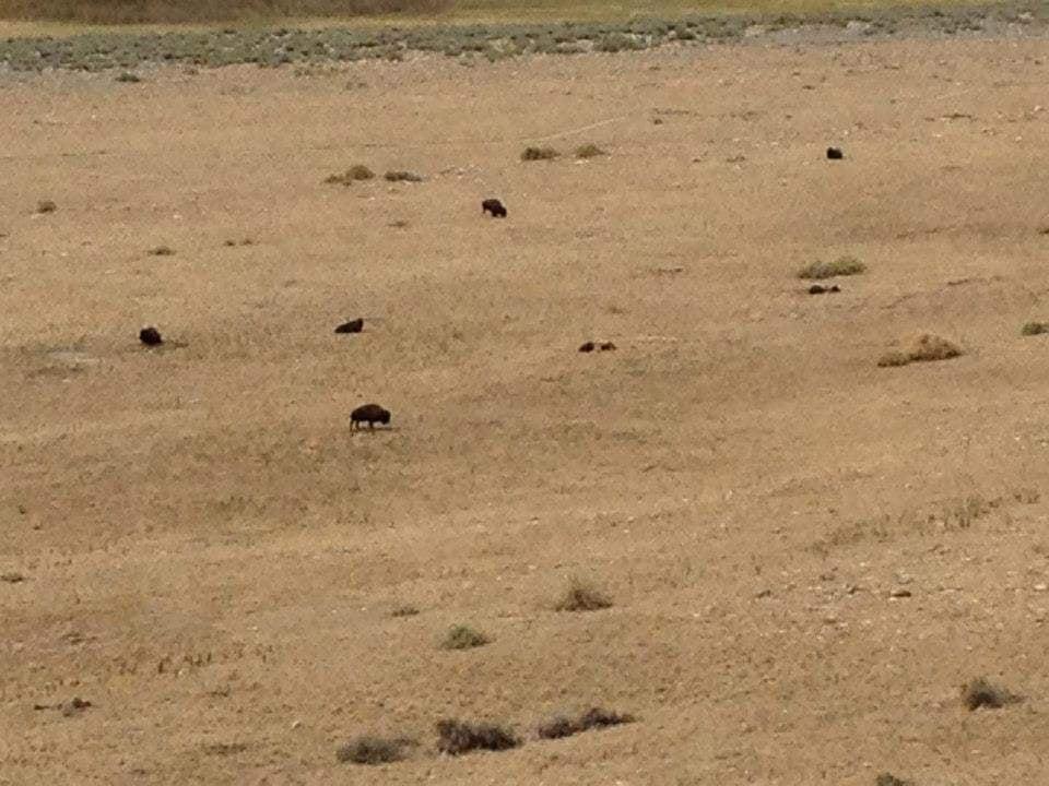 Bisonti in lontananza visti da Buffalo Point - Antelope Island State Park
